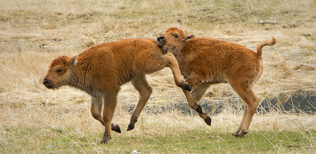 Bison at Play