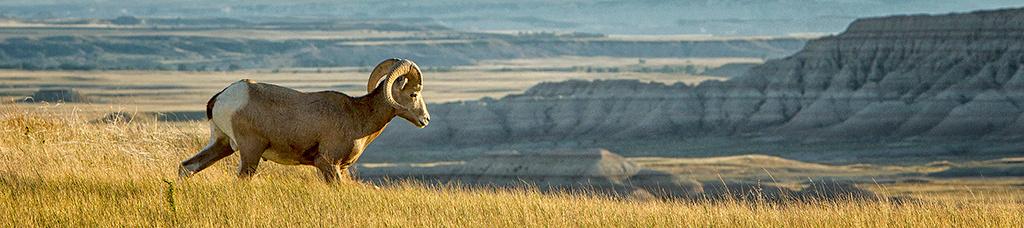 Bighorn & Badlands