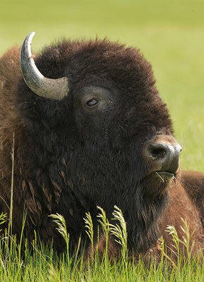 Bison Head Study