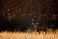 Early Morning Buck
